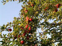 Apple_tree_1